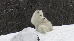 Arctic fox in a snow storm Stock Footage