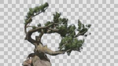 Jeffrey Pine Pinus Jeffreyi Curved Tree Roots Stone Coniferous Evergreen Tree Stock Footage