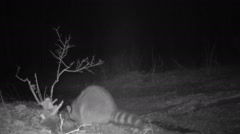 Raccoon Finds Egg Stock Footage
