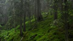Shower in fir forest Stock Footage