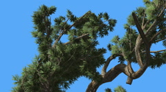 Jeffrey Pine Pinus Jeffreyi Curved Tree in Sunny Day Coniferous Evergreen Tree Stock Footage
