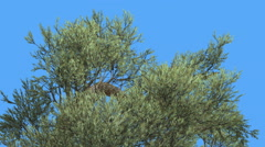 Jeffrey Pine Pinus Jeffreyi Top of Tree Crown Coniferous Evergreen Tree is Stock Footage