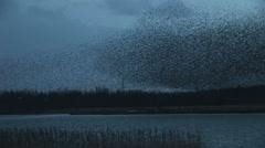 Huge flock of birds in evening sky Stock Footage