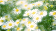 Close up panoramic view of camomile flowers with glary effect in slow motion Stock Footage