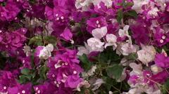 Beautiful purple flowers in Oman Stock Footage
