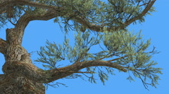 Jeffrey Pine Pinus Jeffreyi Curved Trunk Coniferous Evergreen Tree is Swaying Stock Footage