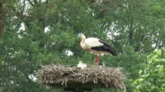 White storks clattering on nest, bring food, feeds offspring + fly away - stock footage