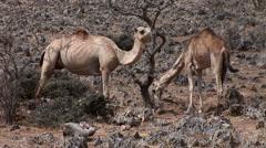Camels graze in the Oman Desert Stock Footage