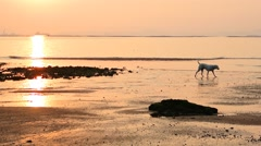 Dog walking beside sea at sunset time - stock footage