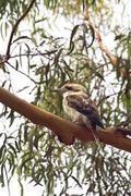 Laughing Kookaburra (Dacelo novaeguineae) - stock photo