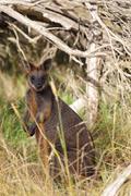 Swamp Wallaby (Wallabia bicolor) - stock photo