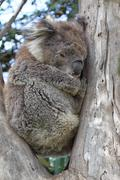 Koala (Phascolarctos cinereus) - stock photo