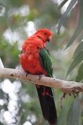 Australian King Parrot (Alisterus scapularis) - stock photo