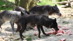 Five wolves are feeding with meat Stock Footage