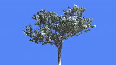Italian Stone Pine Painted Trunk Snow Coniferous Evergreen Tree is Swaying at Stock Footage