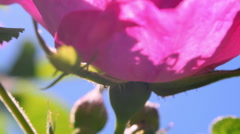 Impressive panoramic scene with wild rose closeup against blue sky Stock Footage