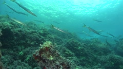 Barracudas Mallorca Spain Stock Footage