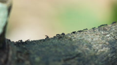 Close up of ants on tree, super slow motion 240fps Stock Footage