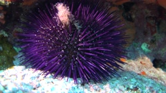Purple sea urchin Mallorca Spain Stock Footage