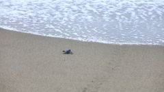 Baby sea turtle crawling on sand towards sea Stock Footage