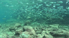 Saddled bream Mallorca Spain schooling Stock Footage