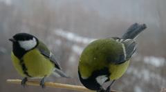 Great Tit Birds Feeding Stock Footage