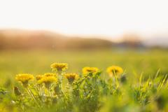 Close up of dandelions on sunny summer meadow. Nature background - stock photo
