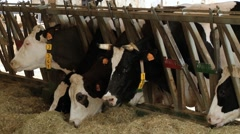 Milking cows eat hay at the farm cowched in Modena, Italy. Stock Footage