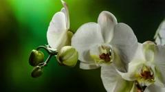 Orchiday flower blossom burgeon 4k Stock Footage