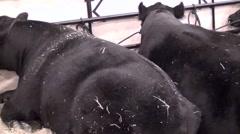 Bulls Resting - stock footage