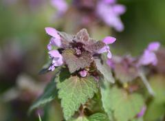 Lamium purpureum blooming in the garden. Stock Photos