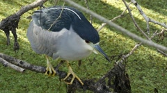 Black-crowned night heron (Nycticorax nycticorax) Stock Footage