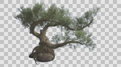 Jeffrey Pine Pinus Jeffreyi on a Stone Coniferous Evergreen Tree is Swaying at Stock Footage