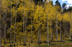 Entrance to an Aspen Forest Changing in Fall - stock photo