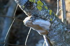 Stock Photo of Tinder fungus on a branch