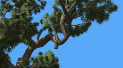 Jeffrey Pine Pinus Jeffreyi Swaying Branches Coniferous Evergreen Tree is Stock Footage