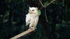 Beautiful white owl in forest Stock Footage