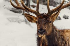 Close-up of a deer in the winter (Omega Park of Quebec) Stock Photos