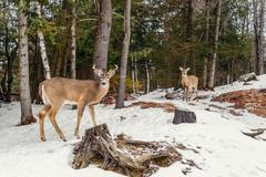 Deers in the winter (Omega Park of Quebec) Stock Photos