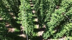 Hop field. Germany - Bavaria. Aerial shoot Stock Footage