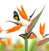 Strelitzia reginae, bird of paradise flower with butterfies - stock photo