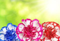 Colorful carnation flowers Stock Photos