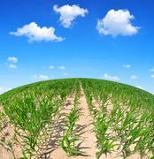 Corn field in sunny day. Kuvituskuvat