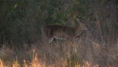 white-tailed deer (Odocoileus virginianus) family - stock footage