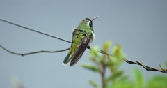 Green Hummingbird. Wetlands, Pantanal. Brazil. Bird. Stock Footage