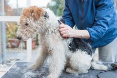 Side view of trimming of the Fox Terrier. Horizontally Stock Photos