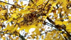 Slowmotion view on yellow leaves on tree  Stock Footage