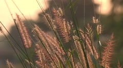 plume grass in the morning light - stock footage