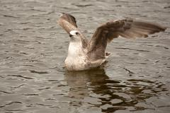 Herring Gull at sea - stock photo