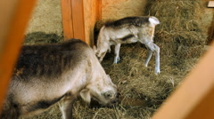Swedish reindeer eat the hay in the barn Stock Footage